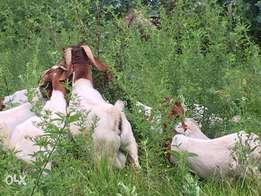 Imported Boer Goats for Sale