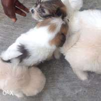 Lasha Apso for sale