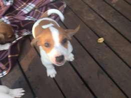 1 x Pedigree Male Jack Russel Puppy