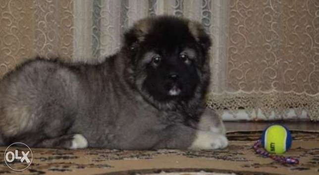 Caucasian puppies, imported with Pedigree.. Top quality