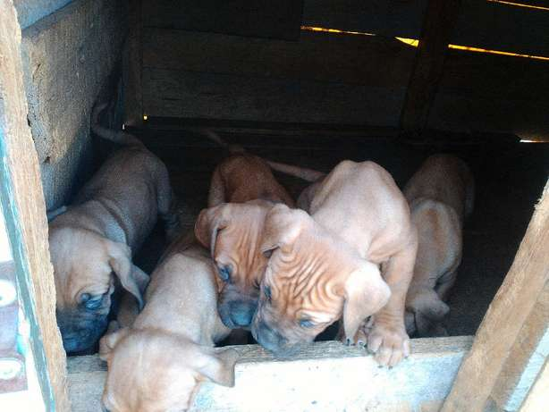 BOERBOEL Puppies 2mnths Old Naivasha - image 3