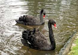 Well Tamed Waterfowls For Sale