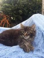 Maine Coon Kittens! Male & Female in many colours