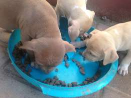 pitties puppies for sale