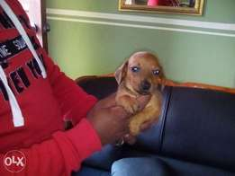 Dachshund pure breed one man standing anyone still interested