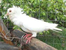 Fancy fantail pigeons and other ornamental birds