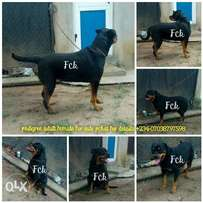 Adult female Rottweiler for sale