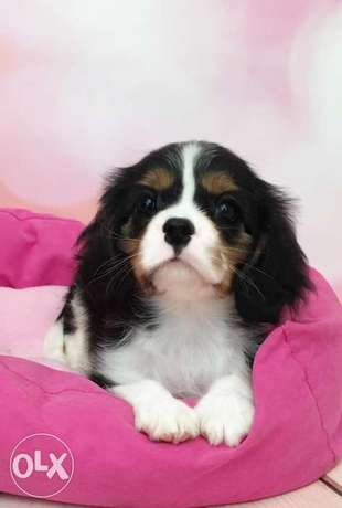 Cavalier King Charles, imported from Ukraine.Top quality with Pedigree