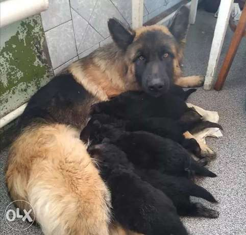 Reserve Your German Shepherd Puppy
