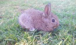 Baby dwarf Rabbits available