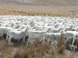 Healthy Boer goats and sheep for sale R600