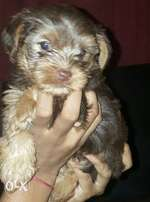 YorkshireTerrier puppies