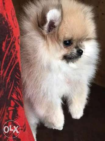 Imported Female Pomeranian