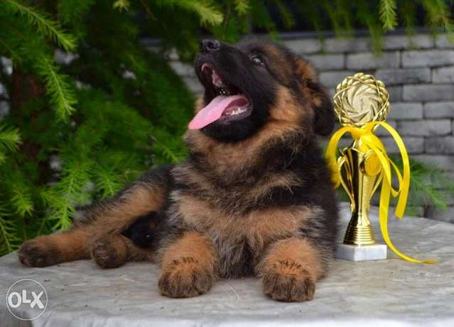 FCI Pedegree German Shepherd Supper Puppies are Waiting for you