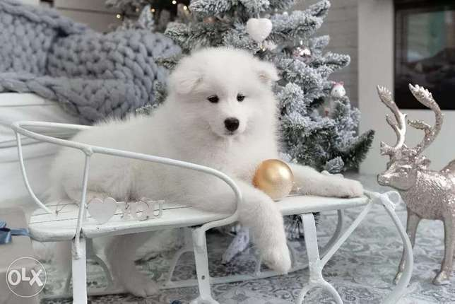 Snow White Samoyed Puppies