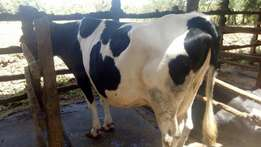 Selling a healthy cow.