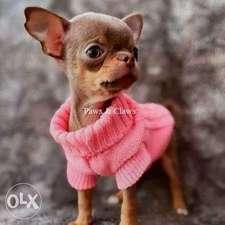 Chihuahua puppies for sale cutest!