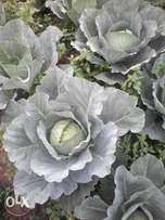 Cabbages for sale.
