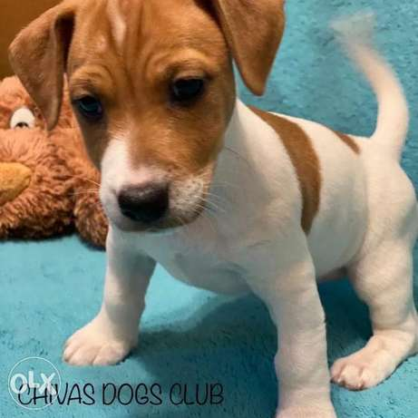 TOP imported JACK RUSSEL from Ukraine