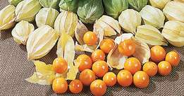 Physalis golden gooseberries seedlings at two hundred bobs only