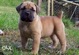 Box headed full boerboel pups ready for a new home.. 90k..hurry up!!