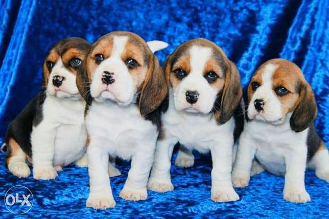 Imported beagle puppies, top quality with Pedigree
