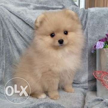 Pomeranian of top quality is ready to move Soft fluffy