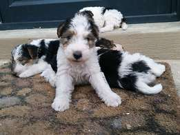 Wire Haired Terrier Puppies - PEDIGREED