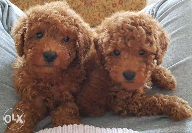 Beautiful Poodle puppies for sale