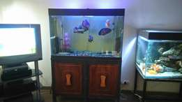 Big fish tank for sale 1.2m with Oscars