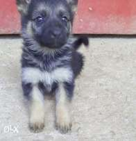 Pure breed German Shepherd puppies for sale.