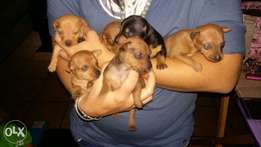 Miniature Doberman Pinchers