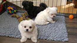 Home Raised Lovely Maltese and Shih Tzu Puppies Available!
