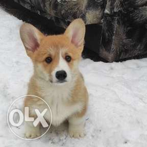 Red and white happiness! Welsh Corgi Pembroke.