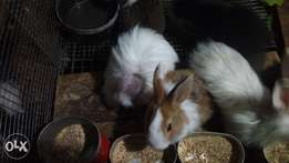Foreign rabbits for sale