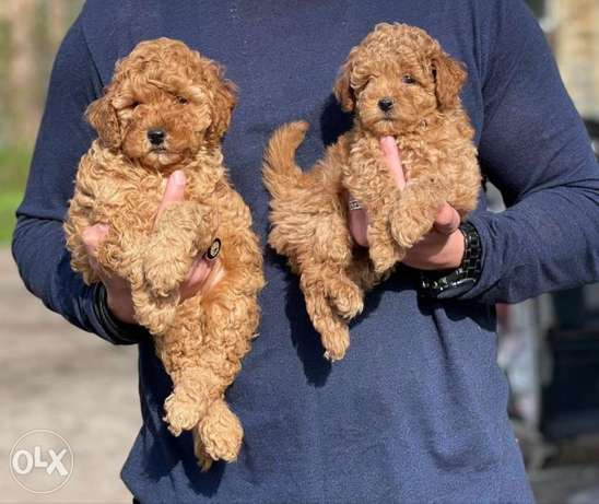 Imported Toy Poodle From Ukraine DOB. 21-2-2021