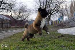 American akita puppies, imported with all dcs.. Fci pedigree