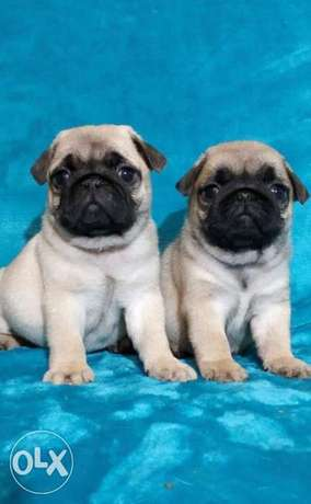 Ready For New Home ..Imported parents.. Pug Puppies