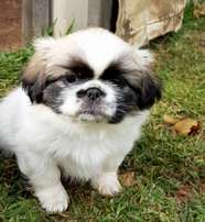 Pekingese Puppies (parti-colour and gray sable with black mask)