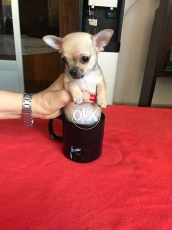 The best Chihuahuas High class quality