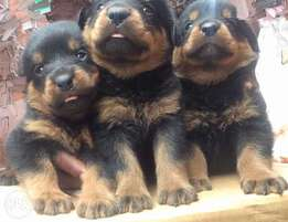 Full breed Box head rottweiler