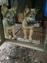 German shepherd/alsatian pups