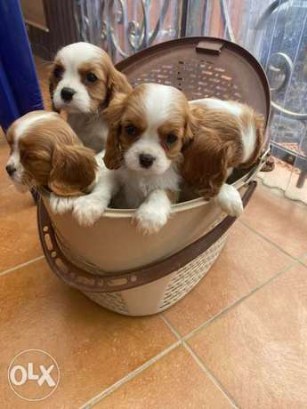 Cavalier King Charles Spaniel From Ukraine Full Documents Top Quality