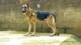 Adult male and Female Gsd for sale