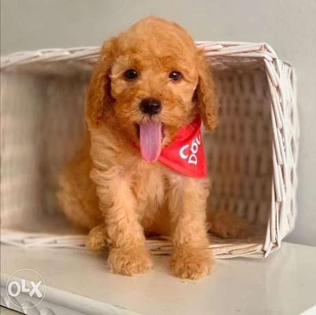 Toy poodle puppies, males and females