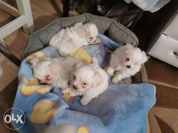 Wee delivery bichon