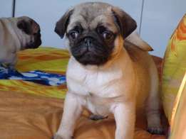 Quality Pug puppies for sale !