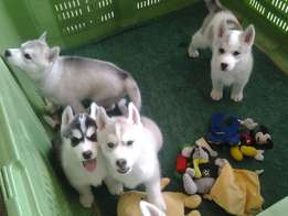 Looking for a good home for a 3 month old Siberian husky puppy.
