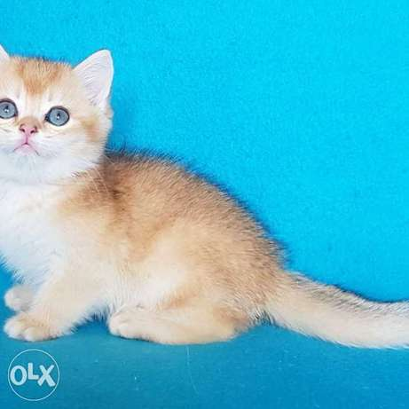 offers kittens of an exclusive color - British golden chinchilla