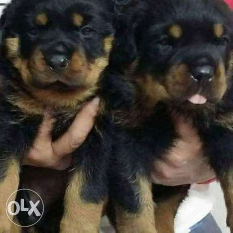 Rottweiler puppies for sale imported parents جراوي روتويلرللبيع